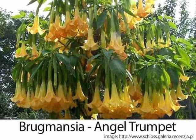 brugmansia angel trumpet flowering