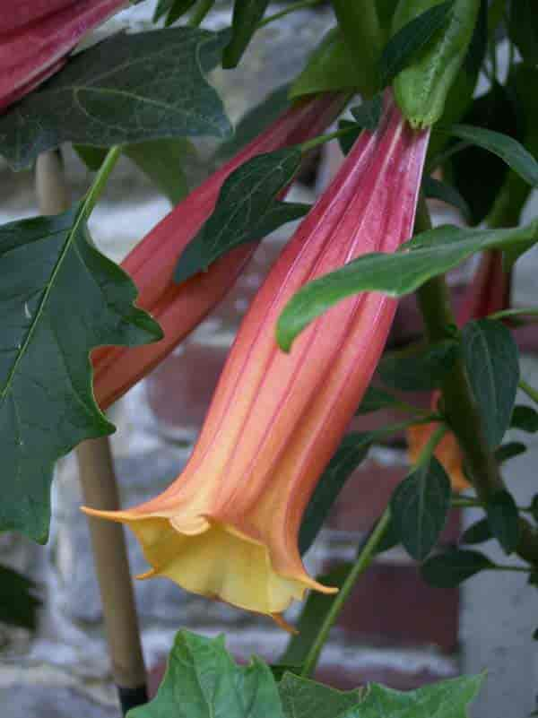 flowering Brugmansia Vulcanicola