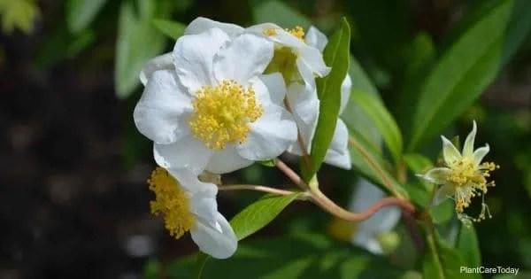 Blooms of the Carpenteria Californica - Bush Anemone