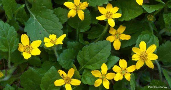 Yellow flowering Chrysogonum Virginianum