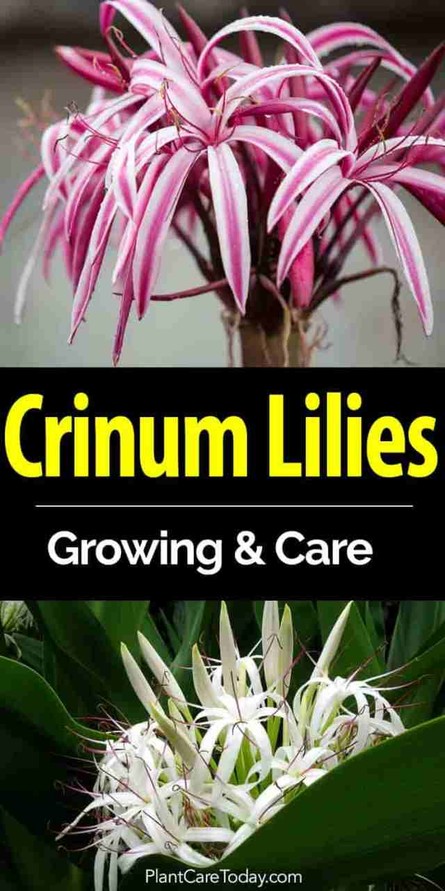beautiful flowers of the crinum lily