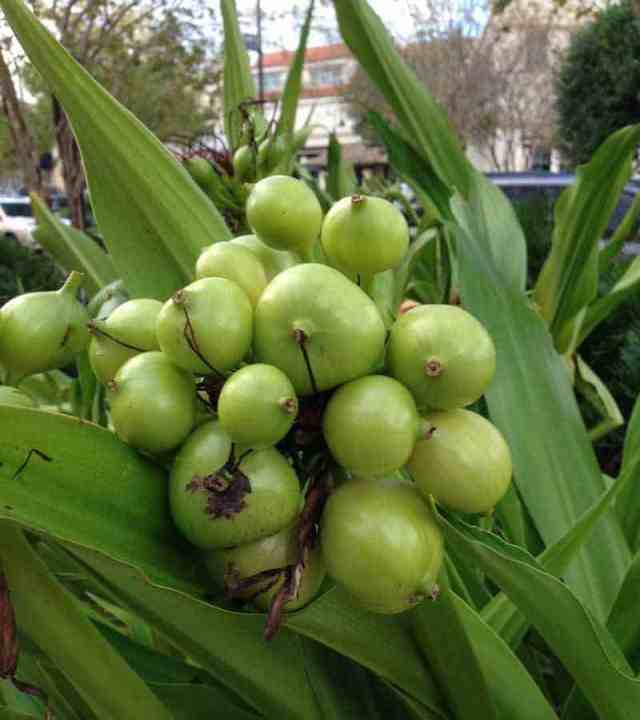 Seed pods on Crinum lily - St Johns Town Center, Jacksonville, Florida Oct 2016