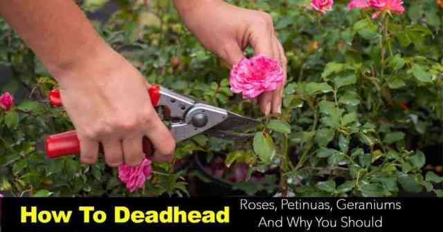 deadheading flowers on rose bushes with Felco pruners