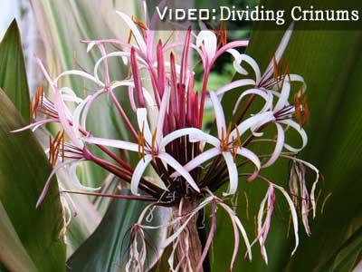 dividing cranium lilies