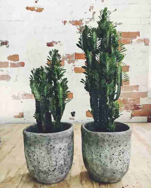 Euphorbia trigona - African Milk Tree - potted in rustic containers
