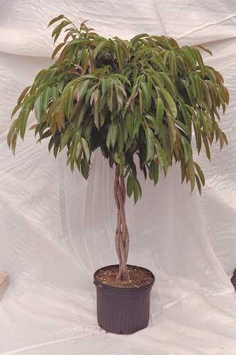 Ficus Indoor Plant
