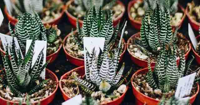 potted Haworthia zebra cactus (fasciata)