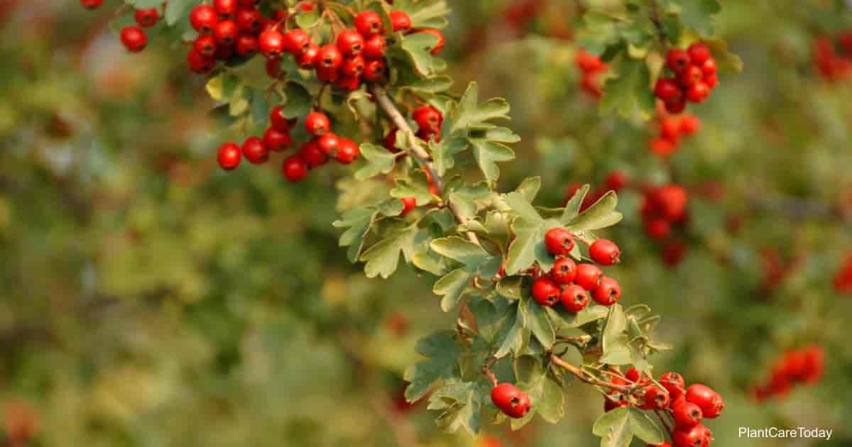 Hawthorne Tree Care Growing The Crataegus Plant