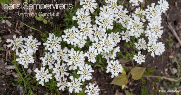 Flowering Iberis Sempervirens aka Evergreen Candytuft