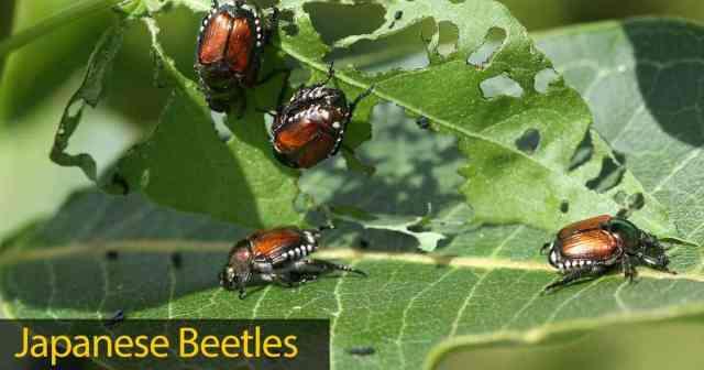 Japanese beetle feeding on leaves