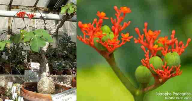 Buddha belly plant and flower