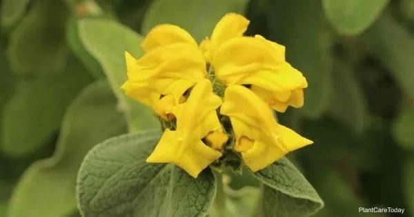 yellow blooms of the jerusalem sage