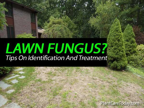lawn fungus treatment