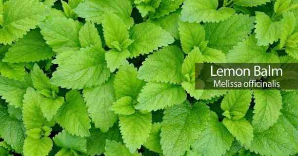 Image result for lemon balm