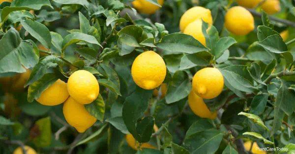 lemons ready for picking and making lemonade
