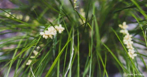 blooms of ornamental Lomandra Grass