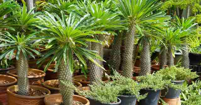 Madagascar palm (Pachypodium lamerei) growing outdoors in clay pots