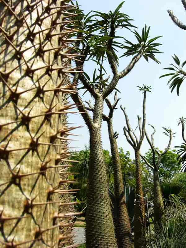 close up of the spines on the Madagascar palm with very tall mature palms in the background.