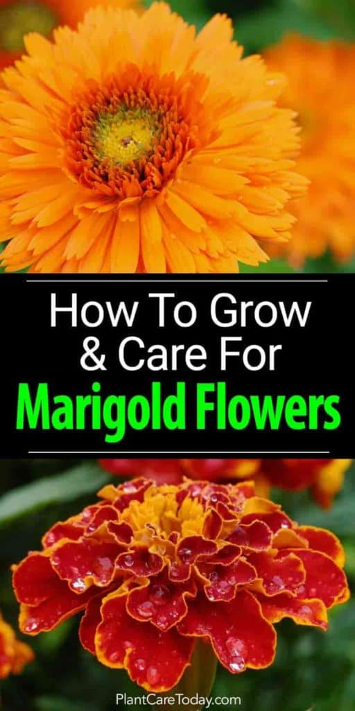 Marigold Flowers  How To Grow And Care For Marigolds blooms of colorful marigold flowers