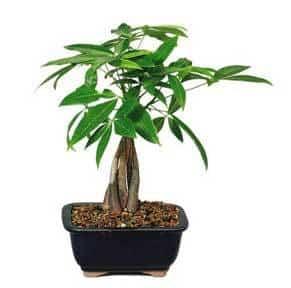 money-tree-bonsai-021514