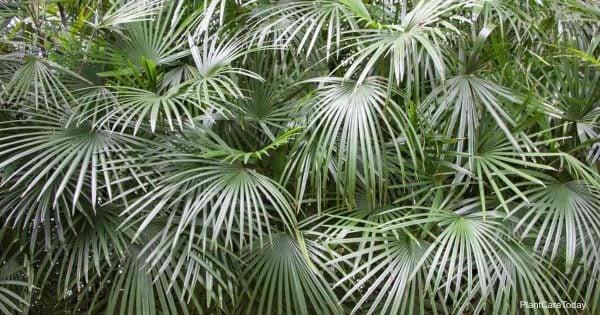 Needle Palm (Rhapidophyllum Hystrix)