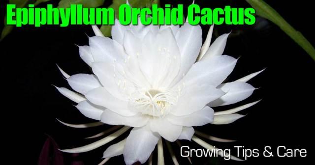 Orchid cactus flower (Epiphyllum)