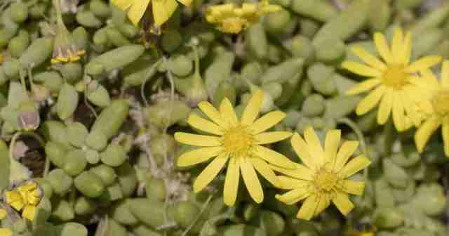 """Othonna capensis - a funny little plant and member of the daisy family. The common name """"little pickles"""" is named for the leaves."""
