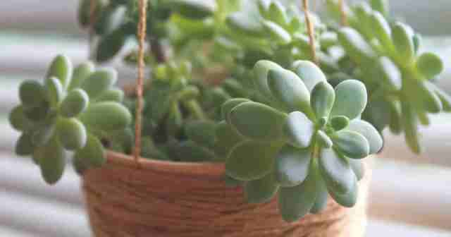 Pachyveria in hanging planter