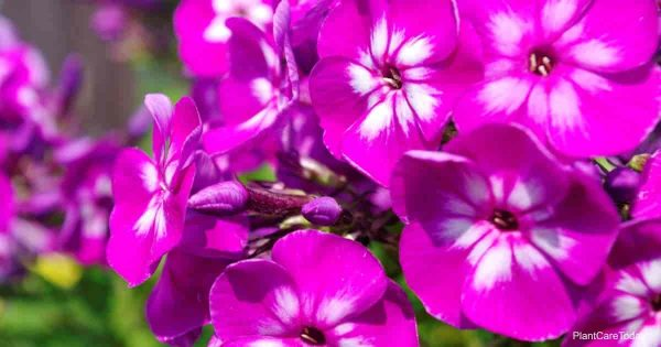 Phlox used as a ground cover