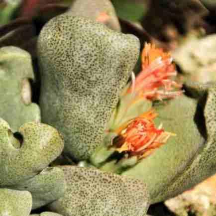 Pleiospilos nelii cactus flowering in the garden