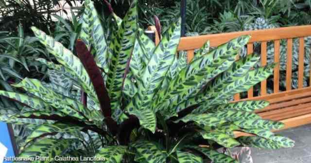 Potted Rattlesnake Plant (Calathea lancifolia) Gaylord Palms Hotel Orlando, Florida