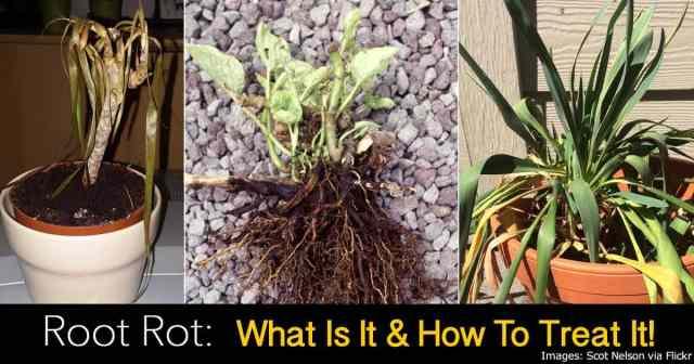 root rot symptoms