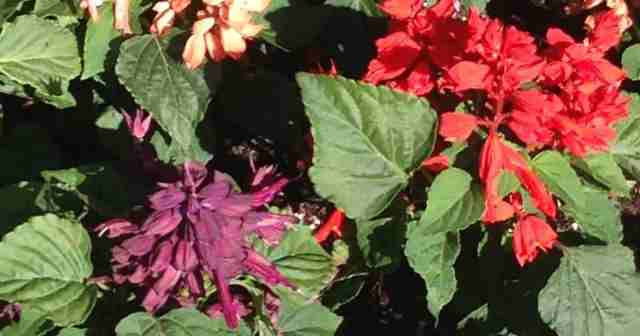 Purple and red Salvia at Disney World