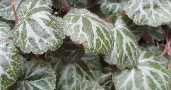 Hairy, furry leaves of the strawberry geranium