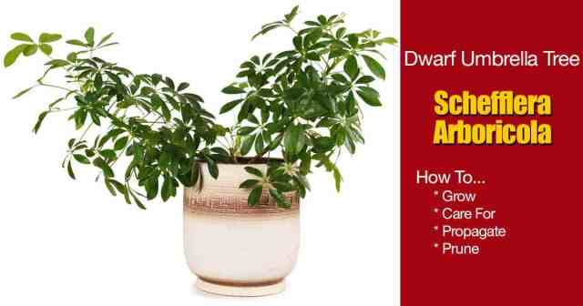 potted dwarf umbrella plant grown as a house plant