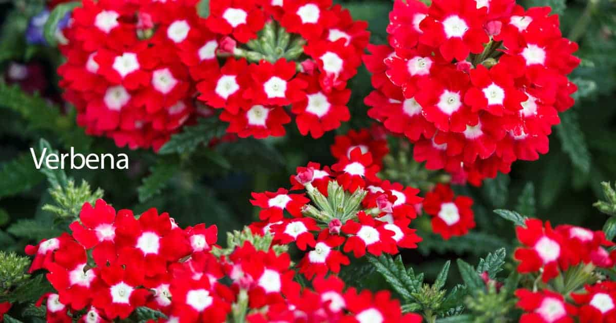 Verbena Plant Care How To Grow The Verbena Flower
