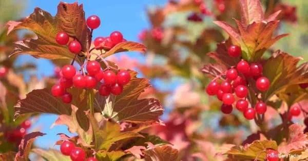Berries on viburnum dentatum