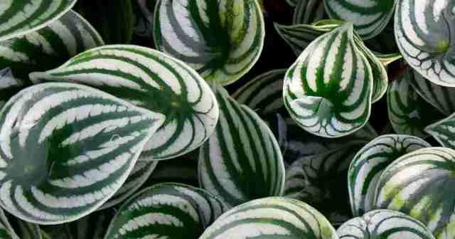 watermelon peperomia called 'argyreia'