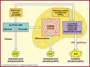 Plant Energy TransformationsBiological Oxidation: