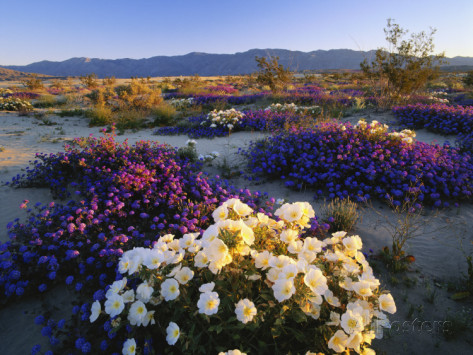 adam-jones-flowers-growing-on-desert-anza-borrego-desert-state-park-california-usa