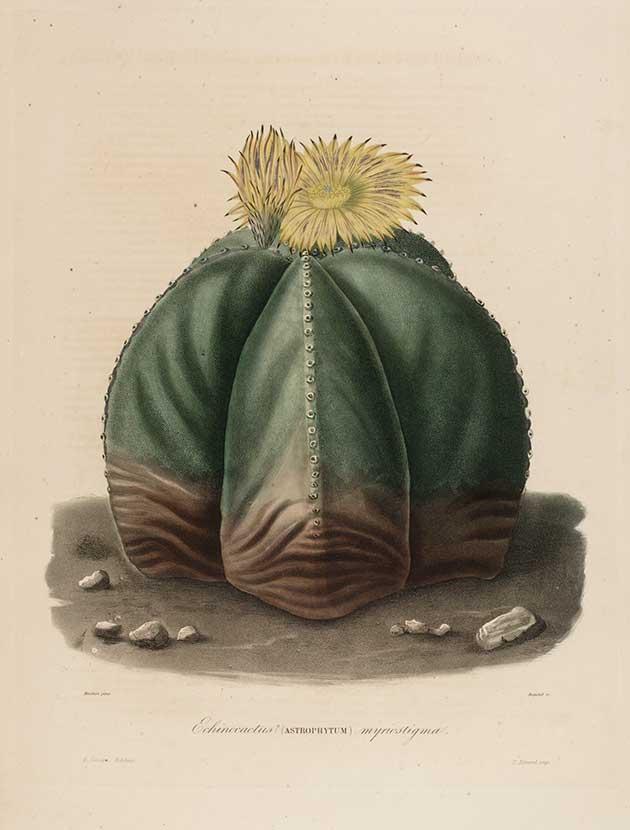 Echinocactus (Astrophytum) myriostigma