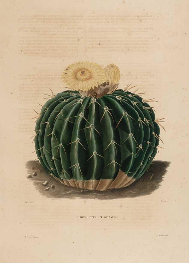 Echinocactus sellowianus