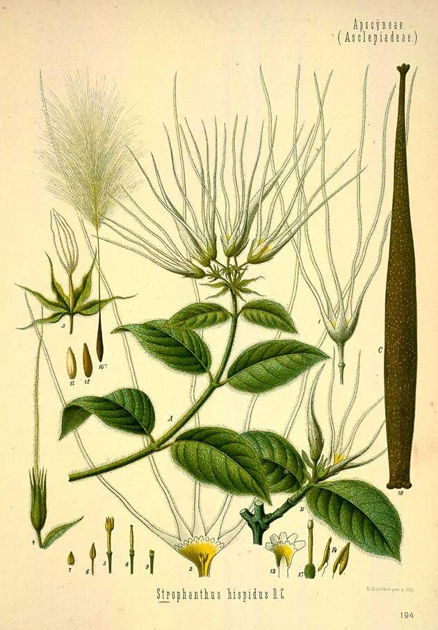Strophanthus hispidus