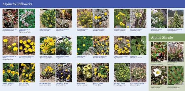 Alpine Wildflower Guide