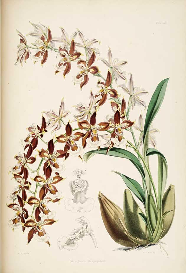 Botanical art - orchids