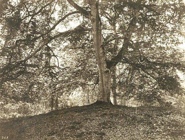 Bodmar Oak