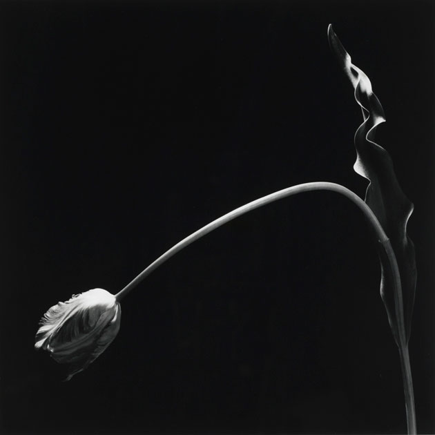 Tulip by Mapplethorpe