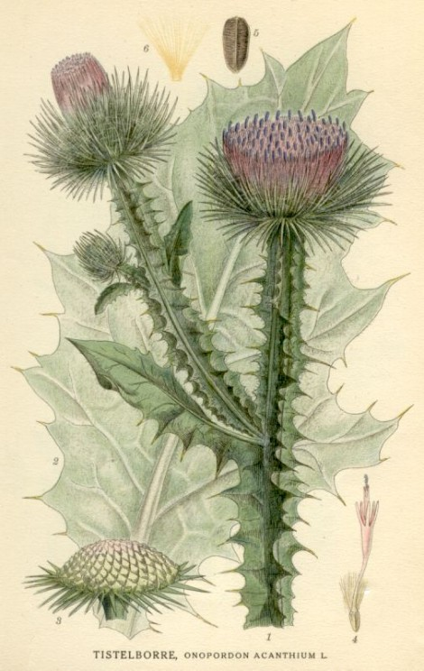 September 2014: What thistle and rose doth she speak of?