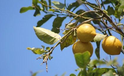 citronnier-citrus-HE