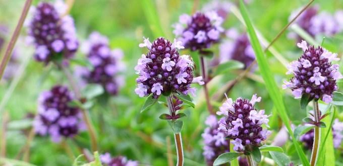 thym-plante-thymus